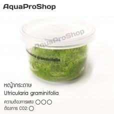หญ้ากระดาษ Utricularia graminifolia